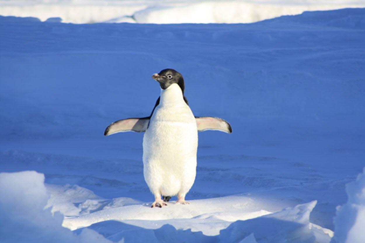 very-confident-adelie-penguin